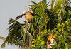 No more room at the Inn! (JohnKuriyan) Tags: kumarakom kerala india in paintedbill pelican painted storks