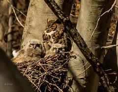 Happy Easter . . . (Dr. Farnsworth) Tags: owl bird mom greathornedowl owlets babies nest gvsu jenison mi michigan spring march2018