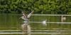 (1100) richtiger Anlauf und dann Abheben (avalon20_(mac)) Tags: kuba grau landschaft landscape länder vögel cienfuegos pelikan tiere wald lagune gewaesser bird animals cuba naturpark