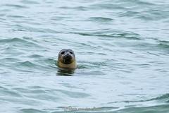 Zeehond (Hetwie) Tags: opaalkust rocks natuur noordzee eb hightide nature zee zeehond vloed water rotsen sea seal france frankrjk beach cã´tedopale audresselles pasdecalais frankrijk fr côtedopale
