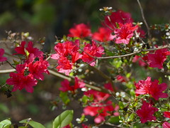 Another old photo from my garden. (lovesdahlias 1) Tags: azaleas flowers blossoms gardens nature spring newengland