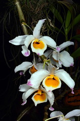 Dendrobium wardianum (Nurelias) Tags: beautiful color colorful d7100 nikon fleur flora flore flores flower flowers forest macro makro orchid orchidaceae orchidales orchidee orchideen orchids orquidea photography rainforest tropical exhibition international dresden
