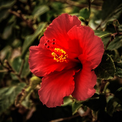 Square Red Hibiscus (http://fineartamerica.com/profiles/robert-bales.ht) Tags: arizona foothills forupload haybales hibiscus people photo places plants projects states flowers plant red hibiscusdisambiguation mallow warmtemperate subtropical sorrel flordejamaica rosemallow perennial herbaceous shrubs tree trumpetshaped white pink orange yellow beautiful sensational spectacular awesome magnificent peaceful robertbales magical colorful canonshooter wow stupendous tranquil butterflies bees petal nature flower bloom floral blossom iphone greetingcards squareformat square