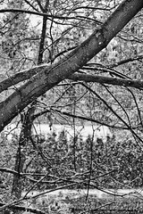 A Little Flurry in Early Spring 6 (LongInt57) Tags: snow snowing maple tree branches winter spring bw monochrome black white grey gray nature weather kelowna bc canada okanagan