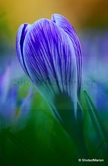 Cheerful Spring Bloomer / Vrolijke Voorjaarsbloeier (ShotsOfMarion) Tags: vrolijkevoorjaarsbloeier cheerfulspringbloomer spring voorjaar lente lentebloeier shotsofmarion shots2remember flickr nikon bloem crocus krokus paars purple flora