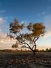 cullyamurra - 1997 (liam.jon_d) Tags: australia australian billdoyle coopercreek cooperscreek cullyamurra cullyamurraexclosure cullyamurrawaterhole desert evening eveningsky floodplain inland inlandwaterway innamincka innaminckaregionalreserve innaminckarr landscape oasis outback regionalreserve remote remotearea reserve sa southaustralia southaustralian stark sunset tree waterway
