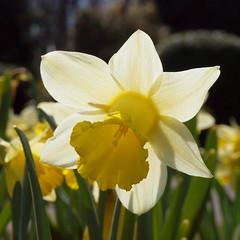2018_04_0021 (petermit2) Tags: daffodils daffodil brodsworthhall brodsworth doncaster southyorkshire yorkshire englishheritage garden gardens heritage heritagegarden backlit smileonsaturday springflower20172018 springflower