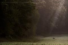 .. (jesscser) Tags: natural wildlife photographer deer chevreuil brocard oise printemps ambiance