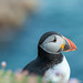 Saltee Islands (Tony Mullen Photography) Tags: puffin puffins salteeislands salteeisland tonymullenphotography avian avianphotography wildlifephotography wildlife wexford