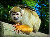 Cleo (Jason 87030) Tags: cleo squirrelmonkey monkeybusiness unfinished fur monkey animal creature face woburn safari park enclosure uk may 2018 sony alpha a6000 ilce nex tag flickr photostream album dayout attraction footsafari england