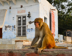 A wild monkey in Agra, India (phuong.sg@gmail.com) Tags: animal asia background brown carve clean creature curious cute expression face fauna fun funny fur furry goa grey hairy hampi india indian jungle life looking macaque male mammal monkey mood muzzle nature outdoor paw population portrait primate rock sit sitting southern stone summer thoughtful travel tropical white wild wildlife