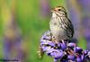 Savannah Sparrow (Passerculus sandwichensis) - Richmond, BC (bcbirdergirl) Tags: savannahsparrow singing richmond bc passerculussandwichensis fullsong vocalizing song savs metrovancouver adult lupine lupines springhassprung