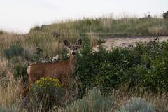 Alert (Alanna's Photos) Tags: sonya5000 sony animals animal throughherlens aware alert beautifulbc merritt sagebrush wildlife doe deer