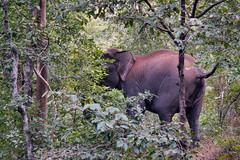 Asiatic Elephant at Betla National Park (pallab seth) Tags: asiaticelephant elephasmaximus asian wild animal mammal abstract motionblur poster nature nationalpark forest betla jharkhand imdia ature palamou evening india jeepsafari