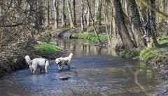 Playing in cold water (RIch-ART In PIXELS) Tags: anstelerbeek kerkrade zuidlimburg landgoedcranenweijer thenetherlands animal dog stream water forest trees woodland brook nikon landscape