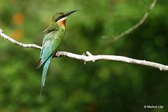 Blue-tailed Bee-eater (markus lilje) Tags: animal animals markuslilje srilanka bird birds birding beeeater green meropsphilippinus bluetailedbeeeater