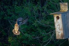 TurnAround (jmishefske) Tags: 2018 duck nikon turn around wing milwaukee pond box bif lagoon westallis greenfield wisconsin fly d850 park bird may county wood