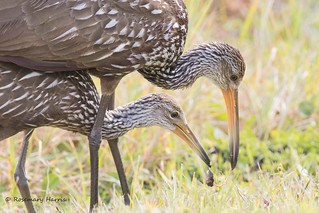 Limpkin with Young