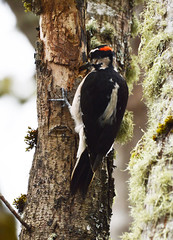 Digging in the Tree (Sotosoroto) Tags: dayhike hiking nisqually nisquallydelta washington bird woodpecker hairywoodpecker