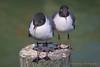 Black-headed Gull. (K.Yemenjian Photography) Tags: gull seagull bird birds animal beautyofnature canon closeup telephotolens telephoto florida beach clearwaterbeach clearwaterbeachfl madeira madeirabeach blackheadedgull