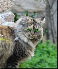 Ciao Leone:-)))!! (antonè) Tags: cat chat micio felino nuchis gallura sardegna antonè canyoufeelthelovetonight eltonjohn leone gato greeneyes occhiverdi hypnotic