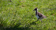 Northern lapwing (Vanellus vanellus) juvenile march. (claudiacridge) Tags: