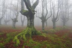 The defender of the forest (Rafael Díez) Tags: españa paisvasco vizcaya orozko belaustegui otoño paisaje naturaleza bosque hayedo niebla fog filtro polarizador rafaeldíez verde raices arboles