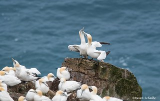 Courtship on the edge of the cliff