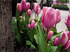 City Street (Mildred Alpern) Tags: nyc street tulips pavement trunk leaves petals pink outdoors flowers plants depthoffield