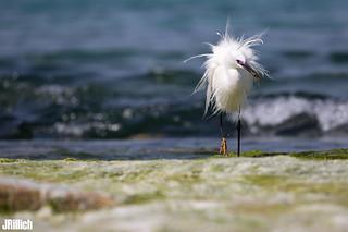 Little egret, Seidenreiher, Egretta garzetta @ Tel Aviv Israel 2018 urban nature