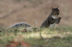 Preparing for winter... (Michele's POV) Tags: autumn gatherer winterpreparation squirrel acorn bokeh busy