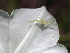 Crab Spider (bamboosage) Tags: macro yashinon 28 ƒ60mm preset m42