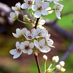 "Cincinnati – Spring Grove Cemetery & Arboretum ""Bradford Pear Tree - Flowers"" thumbnail"