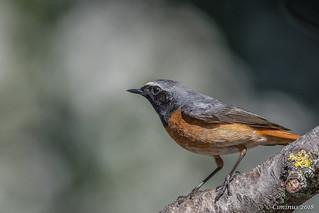 Phoenicurus Phoenicurus ♂︎ (Codirosso, Redstart).