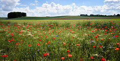 Champ de coquelicots-1 (philippeprovost1) Tags: coquelicots flowers campagne paysage field été summer landscape sky rouge red bleu blue poppy waterloo plancenoit 1815