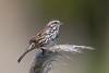 Song Sparrow (X83_3475-1) (Eric SF) Tags: songsparrow sparrow bodegabay sonomacounty california