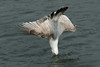 Diver (jillyspoon) Tags: gull water diving diver scotland seagull ocean feathers nosedive irishsea canon70d canon70200 framespersecond vertical fishing fish wigtownshire
