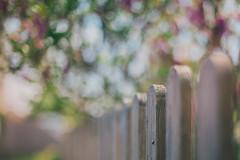 the magnolia tree... (Jess Feldon) Tags: pov tetbury fencefriday fencedfriday happyfencefriday hff jessfeldon dof depth bokeh fence light magnoliatree