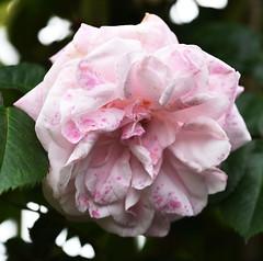 DSC_0085 (PeaTJay) Tags: nikond750 sigma reading lowerearley berkshire macro micro closeups gardens outdoors nature flora fauna plants flowers rose roses rosebuds