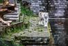 Eye of the tiger (Dext-R Photography) Tags: whitetiger tiger pairidaiza temple ruins tigre