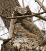 Great Horned Owlet (watertownshelby) Tags: owl watertown