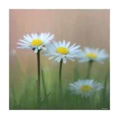 Daisy softness. (moniquevantorenburg) Tags: daisy daisies spring lente voorjaar soft softfocus m43 mft lovely colors kleuren flowers bloemen olympusomdem5markii olympus4015028pro onmyknees lowpointofview laagstandpunt square vierkant macro grass gras madeliefje meizoentjes