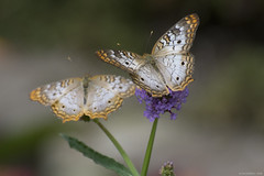 Butterfly 2018-10 (michaelramsdell1967) Tags: butterfly butterflies nature aninals animal macro closeup upclose insect insects beauty beautiful pretty wings flower vivid vibrant pair duo bokeh green spring detail plant bug bugs lovely spots spotted zen