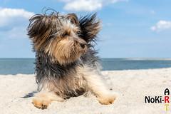 Luna am Strand bei Laboe (Norbert Kiel) Tags: deutschland schleswigholstein laboe ostsee strand wasser luna hund vierbeiner freunddesmenschen blau sand nokiart fell wolken himmel