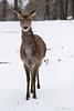 Red deer (Cloudtail the Snow Leopard) Tags: rotwild tier animal säugetier mammal rothirsch edelhirsch cervus elephus red deer female doe wildpark pforzheim