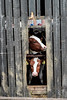 You looking at me? (Harry McGregor) Tags: animal barn shed wood livestock cows tagged farm ayrshire scotland harrymcgregor nikon d3300 14 april 2018