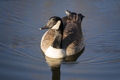 Canada Goose (scrappydoggy) Tags: sony canon metabones a7riii a7r3 100400 100400mm goose canadageese canadagoose animal wildlife critter bird avian pond