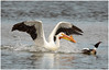 The Chase is On (Sun~Lover) Tags: maplelake cookcounty spring migration white pelican american merganser chase fish thelakehouse illinois willowsprings redbreasted explore 2018
