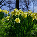 Daffodils in the Sun