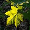 Last light (eikeblogg) Tags: details leaf green goldenlight natureza natureshots naturephotography springtime germany tree mobilephotography